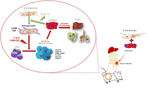 면역세포가 도리어 암 전이 촉진하는 과정 규명